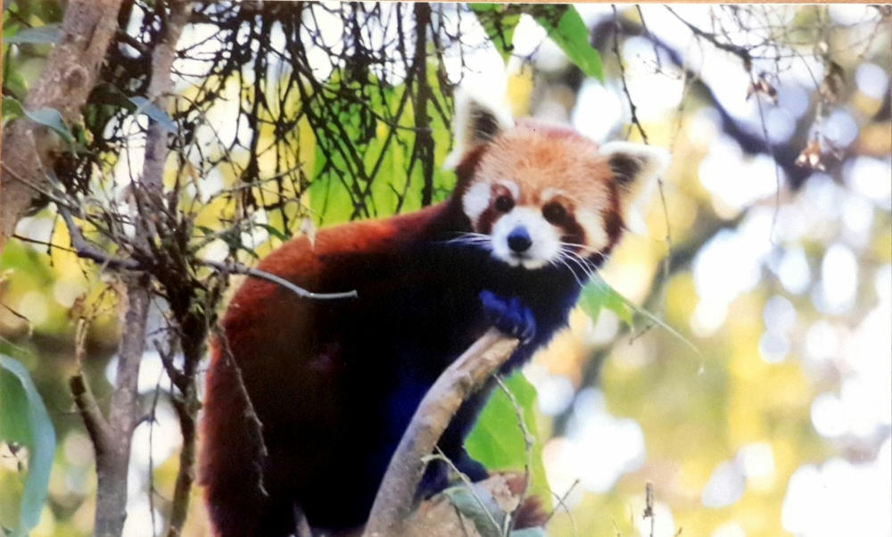 Red Panda in the zoo